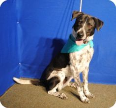 I'm Donner, a verrry happy dog, waiting anxiously to go to my forever home. I already know how to sit. Please come get me!. I'm at the Parker Co. Animal Shelter, Weatherford, Tx. 817-598-4111