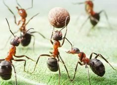 If the heat of summer is bringing ants into your home and yard, don't panic. You may not require toxic pest control prod Serpent Venimeux, Sugar Ants, Ant Spray, Get Rid Of Ants, Fire Ants, Uses For Coffee Grounds, Pest Management, Tier Fotos, Pest Control