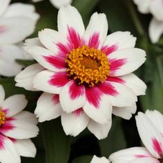 Zinnia Zahara Starlight Rose 2010 AAS Bedding Plant Award Winner Stunning white flowers with rose stripes are a new bicolor for zinnias. Organic Horticulture, Organic Gardening, Gardening Tips, Gardening Supplies, Indoor Gardening, Vegetable Gardening, Bright Flowers, Large Flowers, Lotus Flowers