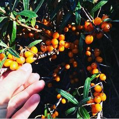 Super Sea Buckthorn is the key ingredient in Rudolph Sun and also a favourite in Andrea's kitchen. Get her tips 👉 see link in bio #seabuckthorn #havtorn #nøgleingrediens #rudolphsun #superbær #rudolphstories