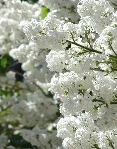 205 best flowers images on pinterest beautiful flowers syringa vulgaris lilac or common lilac is a species of flowering plant in the olive family oleaceae native to the balkan peninsula where it grows on mightylinksfo