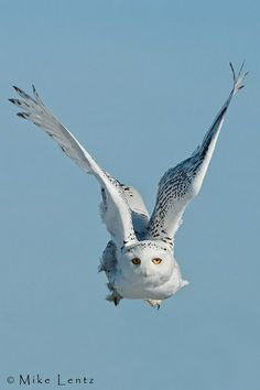 Snowy wings up by Mike Lentz Photography on Flickr*