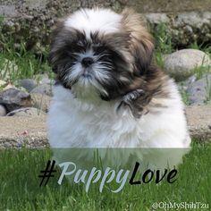 It's #nationalpuppyday ! #akcshihtzu #shihtzulove #shihtzusofinstagram #puppylove