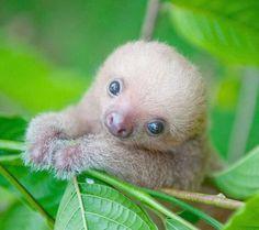 Newborn Sloth baby