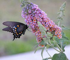 Black Swallowtail Butterfly on a butterfly Bush