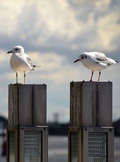 Seagulls   Hamburg