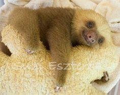Nursery Art Print BABY SLOTH PHOTO 8x10 Baby Animal by WildBabies, $25.00