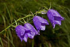 The Best Purple Flowers: Purple Bellflowers http://blog.interflora.co.uk/the-best-purple-flowers/