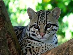 Blogpaedia: Os desprestigiados animais tipicamente brasileiros