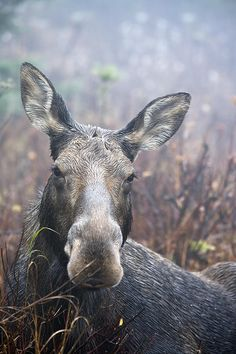 Moose Cow In Gaspesie National Park Photograph by Philippe Henry - Moose Cow In Gaspesie National Park Fine Art Prints and Posters for Sale