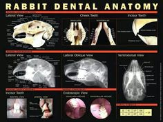 Rabbit dental anatomy - normal teeth of rabbits