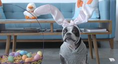 Happy Easter Weekend Everyone! Check out this Boston Terrier Dog on the iRobot Vacuum! ► http://www.bterrier.com/?p=28868 - https://www.facebook.com/bterrierdogs