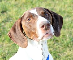 Rascal is an adoptable German Shorthaired Pointer Dog in Appleton, WI. German Shorthaired Pointer 7 years old Neutered Male Adoption fee: $80 Fee includes rabies & distemper vaccinations, heartworm te...