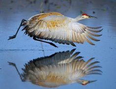 Audubon Magazine    What a reflection! Nice sandhill crane, Jim Ridley. It was one of our Photo Awards Top 100 picks. See the rest here: http://audm.ag/Top100_2012