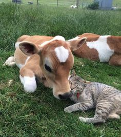 Baby cow calf snuggles tabby cat who says I love moo.youz was born into a sweet karma. Farm Animals, Animals And Pets, Funny Animals, Cute Animals, Vegan Animals, Funny Cats, Beautiful Creatures, Animals Beautiful, Baby Cows