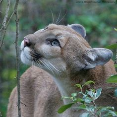 Cougar in the woods. : Cougar in the woods. I Love Cats, Big Cats, Cats And Kittens, Animals Of The World, Animals And Pets, Cute Animals, Beautiful Cats, Animals Beautiful, Gato Grande