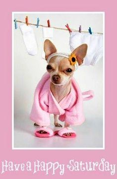 One of the most popular breeds of dog is the Chihuahua. Once a Chihuahua comes into your life the obsession begins! Find out all about the Chihuahua breed. Chihuahua Clothes, Chihuahua Love, Chihuahua Puppies, Cute Puppies, Cute Dogs, Teacup Chihuahua, Funny Chihuahua, Fun Dog, Yorkie