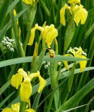 Iris pseudacorus - keltakurjenmiekka