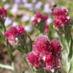 Antennaria Pussytoes Red Flower Seeds