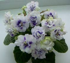 Emerald Lace African Violet