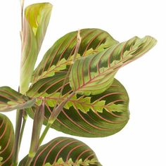 Wist je dat de Maranta fascinator 's avonds zijn bladeren in en 's ochtend weer uit vouwt? Daarom heeft deze kamerplant de bijnaam 'prayerplant' gekregen! #maranta #prayerplant #kamerplant #planten #indoorplants #houseplants #urbanjungle #groeninhuis #planteninhuis Fascinators, Plant Leaves, Plants, Lifestyle, Jungles, Plant, Planting, Planets
