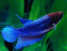 Blue Female Betta Fish