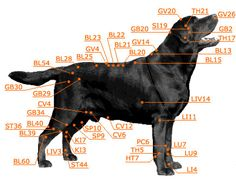 Good diagram of acupuncture points on dogs
