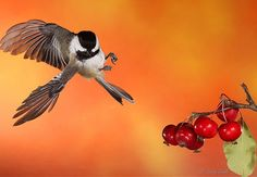 Chickadee - Incredible images of birds in flight, captured with a special camera set-up.  Amazing movements of birds Gerry Sibell has been able to immobilize