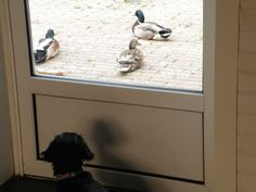 Pleeze can I go out mummy ?? ( actually the ducks are safe, Av prefers kitties )
