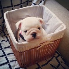 Olga ~ English Bulldog Pup ~ Classic Look Animals And Pets, Baby Animals, Funny Animals, Cute Animals, Puppies And Kitties, Bulldog Puppies, Doggies, Buy Puppies, I Love Dogs