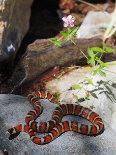 Sonoran Mountain Kingsnake (L. pyromelana) - saw my first one in Madera Canyon, AZ today! Just Beautiful!