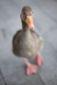 goose.( notes from previous pinner)  I miss the trio of geese we had growing up. They liked to eat the dog food and would have conversations with the cat through the screened windows.