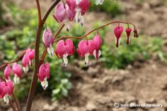 Bleeding heart flower. It's really neat to watch bees get the nectar from inside them