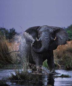 Majestic Elephant by Art Wolfe