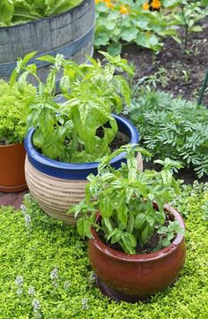 Everything You Need to Know About Growing Basil