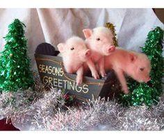 Teacup pig, OMG, I want one!!!