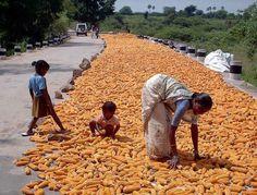 De Agrónomos Por El Mundo  Secado de maíz, Warangal, Andhra Pradesh, India.