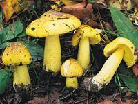 Chutné houby čirůvky v kuchyni: sekaná, polévka z májovek, ledvinky na zelánkách
