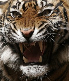 Tiger Roaring! by Theo Kruse