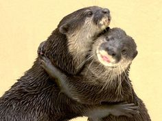 Asian Small-Clawed Otters | SeaWorld San Antonio