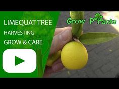 Limequat tree - Learn how to grow Limequat tree, plant information - climate, zone, uses, growth speed, water, light, planting & bloom