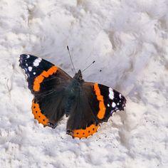#latebutterfly #butterfly