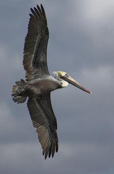 Brown Pelican in flight, Cedar Key, FL