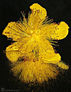 Splash Hypericum flower (St. John's Wort)…A truly brilliant & beautiful picture! No wonder it's used to brighten moods and lift the spirits.