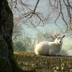sheep on stone wall