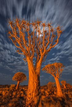Pro nature photographer Ian Plant shares images from the Quiver Tree Forest in Namibia. Night Forest, Tree Forest, Mother Earth, Mother Nature, Foto Nature, Unique Trees, Nature Tree, Nature Nature, Quiver