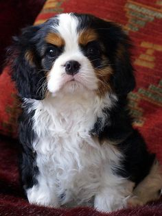 Laughing Cover Boy - - - Cavalier King Charles Spaniel