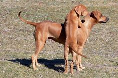 Rhodesian Ridgeback puppy and mother. Can you say A-D-O-R-A-B-L-E?