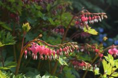 Bleeding Heart, a favorite of mine...No longer Dicentra spectabilis...it's now Lamprocapnos spectabilis.  Gee thank you taxonomists for a truly ugly and difficult to pronounce Latin moniker for this plant.  One more reason for people to hate Latin nomenclature.
