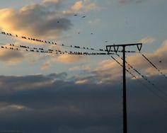 Vögel Strom Stromleitung